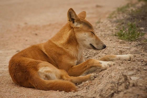 dingoes wild dogs of australia how dangerous are they